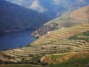 Los agrestes vinyedos en las laderas del Douro.