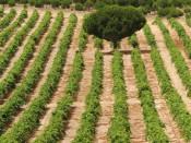 Vinedo de Marques de Riscal en Rueda