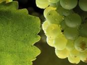 Chardonnay de Vinas del Vero, Somontano