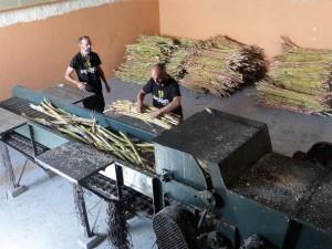Molienda de la canya de azucar en La Palma